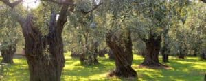 Olive_Trees_Orchard_4webbest.77152153_std