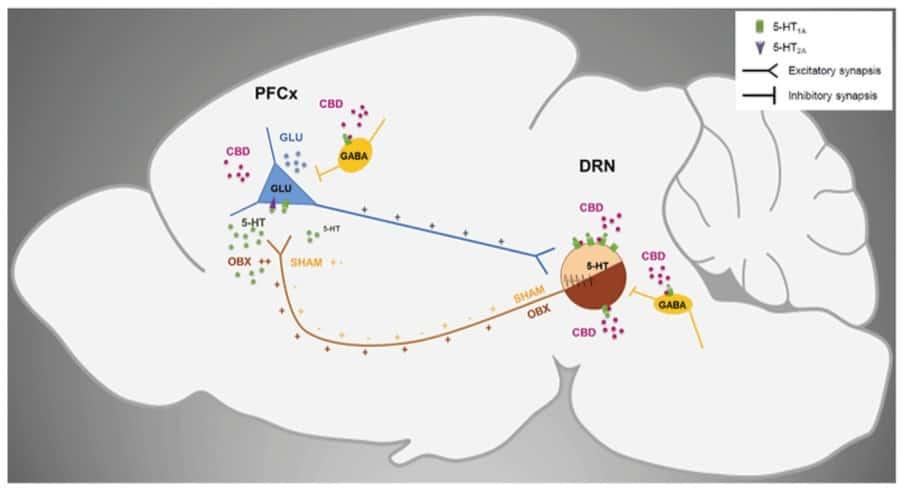 CBD as a reuptake inhibitor