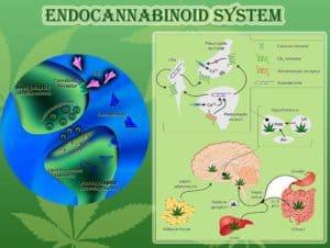 endocabbinoid system