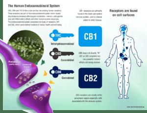 human-endocannabinoid-system (1)