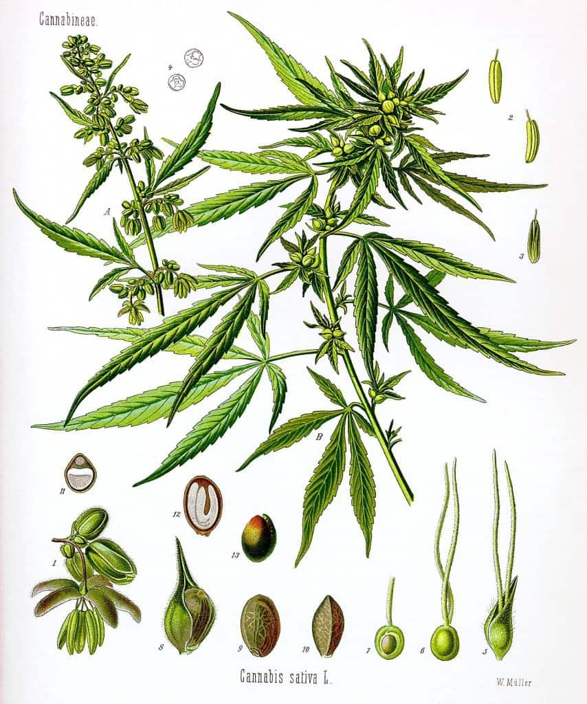 Cannabis Sativa Hemp