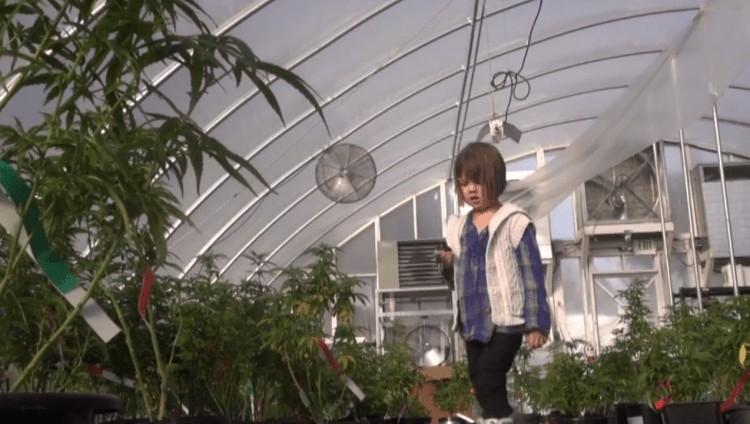 charlottes cannabis