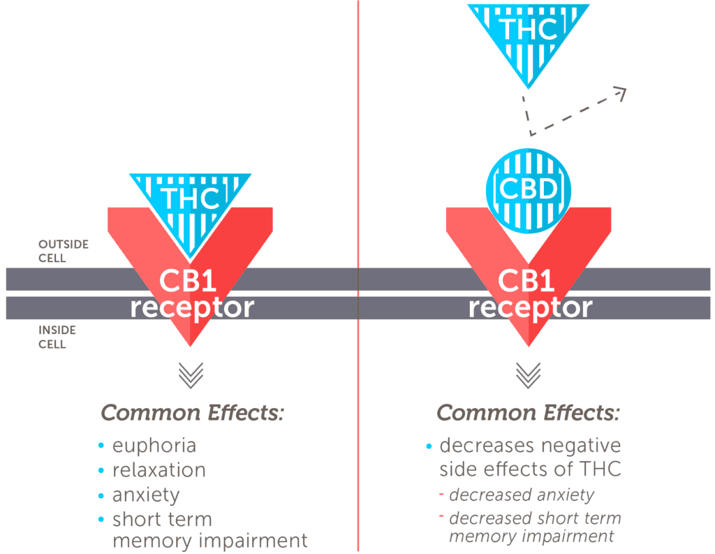 CBD negates the negative effect of THC