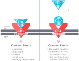 cb 1 receptors cbd