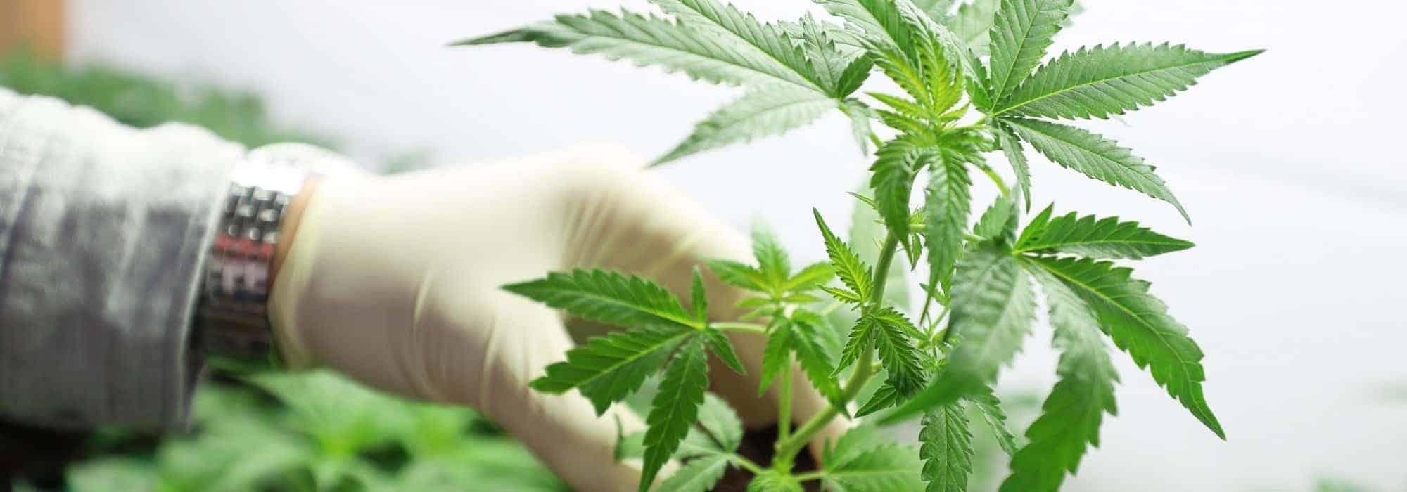 cannabis parkinson