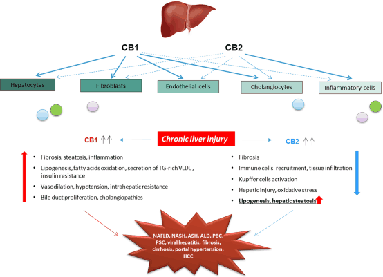 Cbd Liver Diseases A Great Potential For Treatments