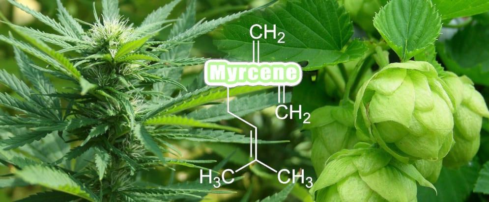 Cannabis & terpene mycrene