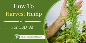 How To Harvest Hemp For CBD Oil